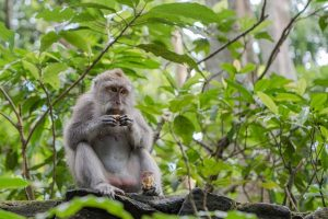 balinese, long tailed macaque