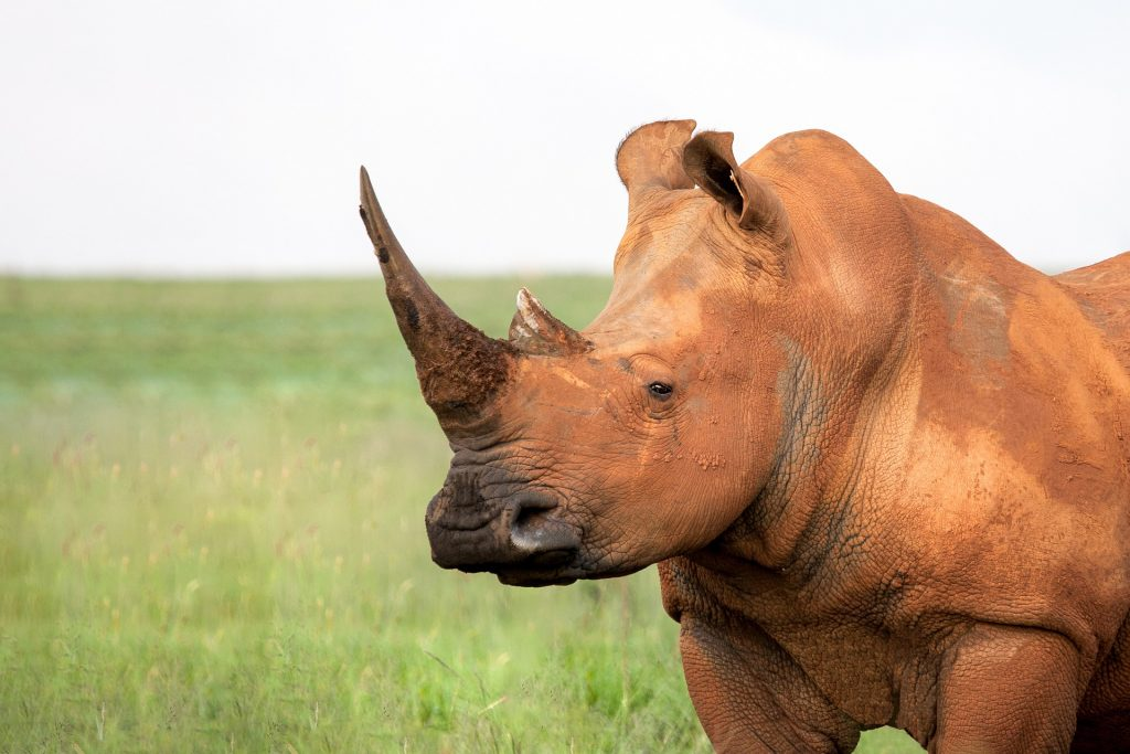 Rhinoceros preserved thanks to the benefits of air transport